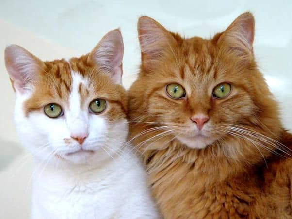 Most common cat breeds in the world