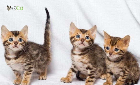 Caring for the Bengal Kittens