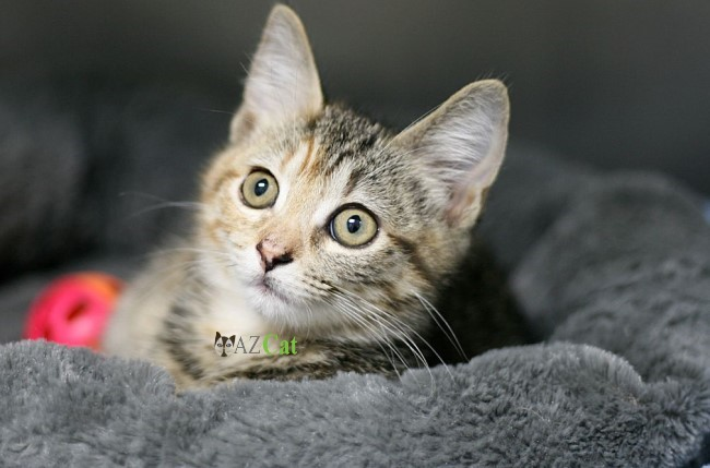 The Advantage of Kitten Adoption
