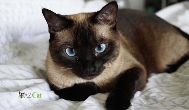 Home Safety of Siamese Kittens