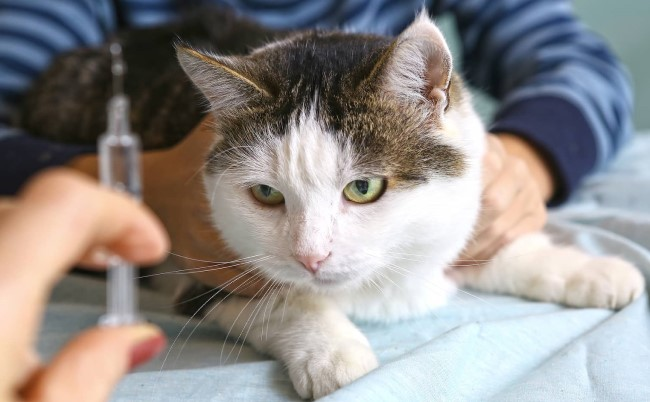 Tips for Diabetic Cat Care